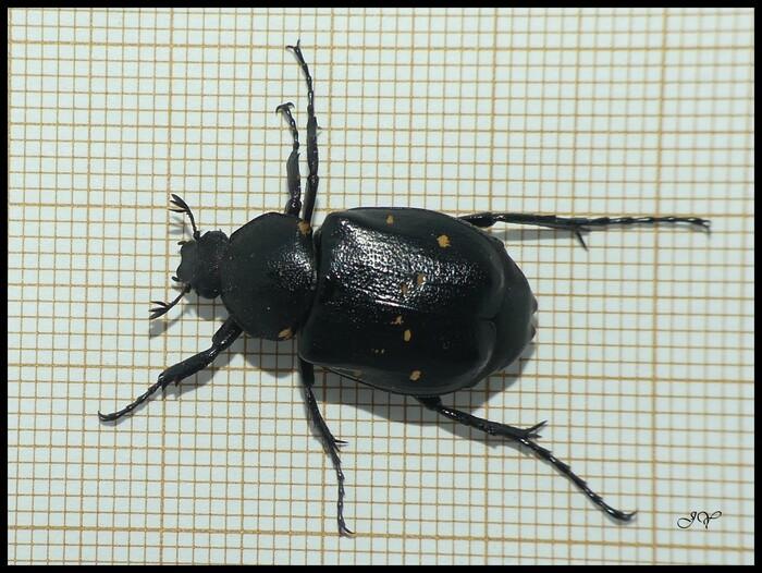 Gnorimus variabilis.