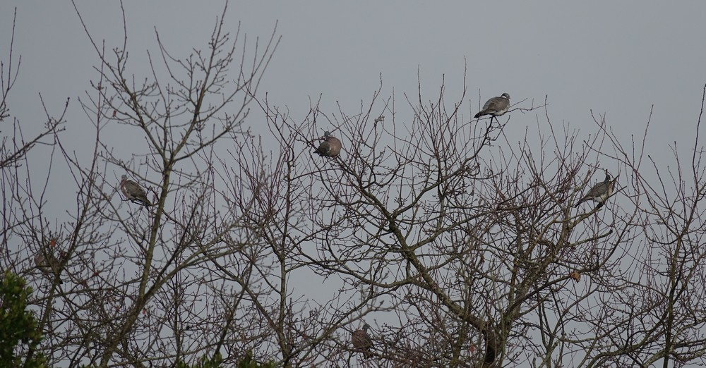 Des palombes squattent les arbres des aigrettes garzettes !