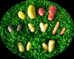 Focus sur les pommes de terre