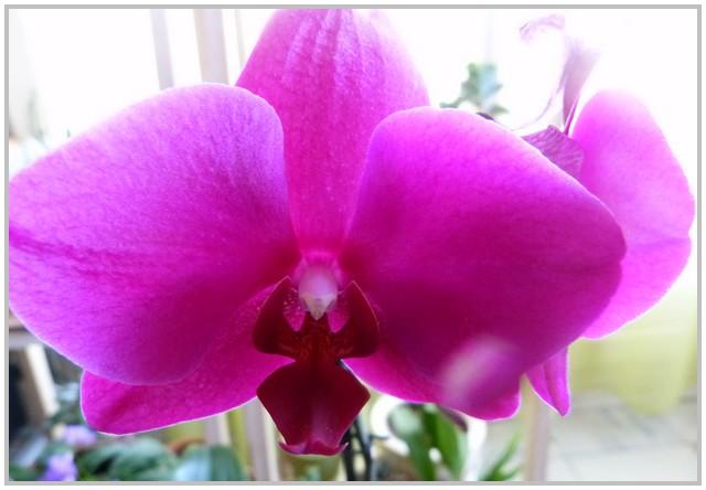 Mes fidèles phalaenopsis refleurissent