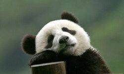 La maman panda