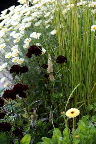 Des compagnes pour mes roses : Dianthus barbatus