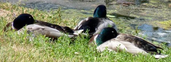 06 - Canards colverts