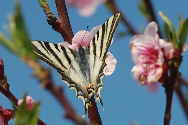 fleurs-peche-et-papillon-n