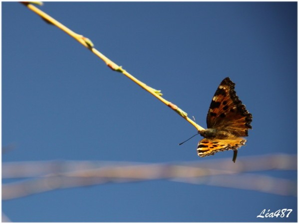 Papillons-3340-grande-tortue.jpg