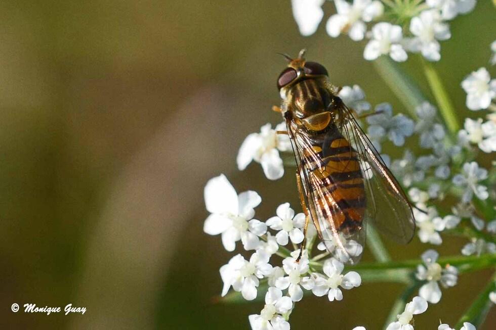 Le monde des mouches et syrphes