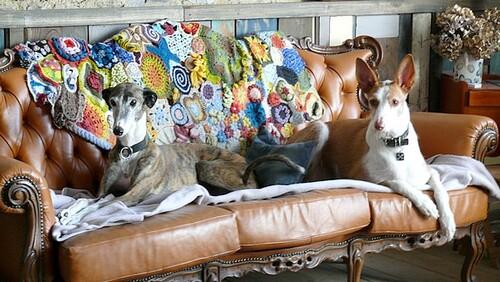 galga et podenco sur canapé