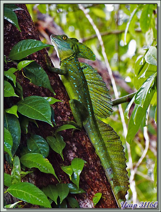 Blog de images-du-pays-des-ours : Images du Pays des Ours (et d'ailleurs ...), Lézard basilic à plumes ou à crête (Basiliscus plumifrons) - Tortuguero - Costa Rica