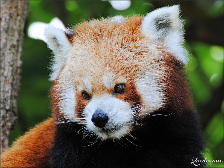 Photo de Panda roux (Zoo de Pessac)