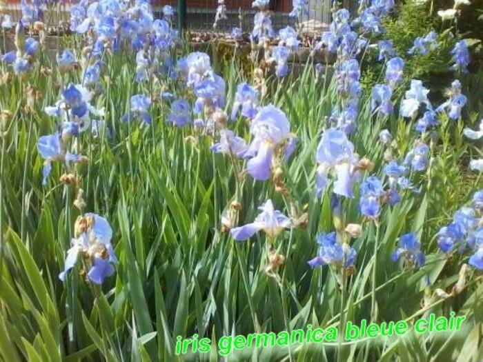 Iris Germanica et Cèanothe dans mon jardin