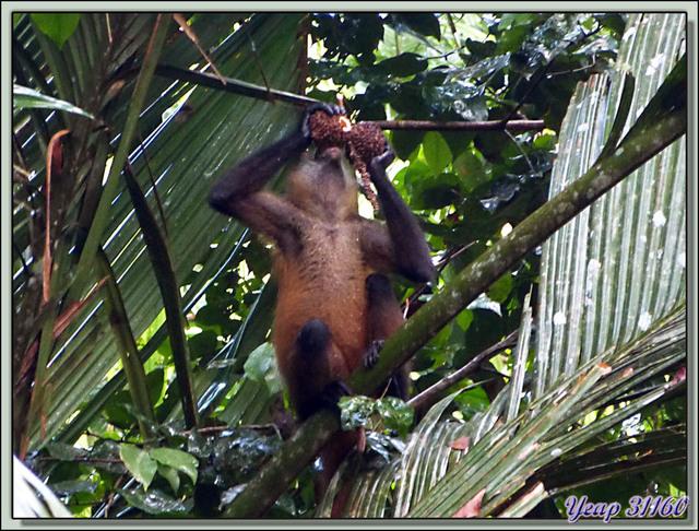 Blog de images-du-pays-des-ours : Images du Pays des Ours (et d'ailleurs ...), Singes araignées (Atèles) - Tortuguero - Costa Rica