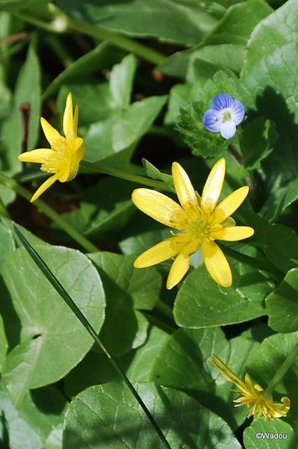 Ficaire fausse-renoncule (Ranunculus ficaria) Ranunculaceae