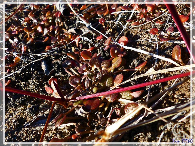 Plante inconnue - Jesse Harbour - Banks Island - Territoires du Nord-ouest - Canada