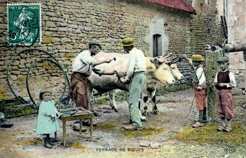 1908, La vie à la campagne, ferrage des boeufs