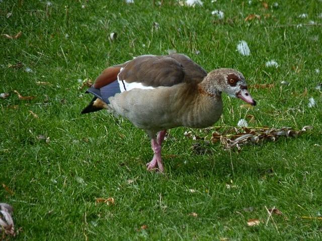 Plan d'eau de Metz 13 oies pigeons cygnes mp1357 2010