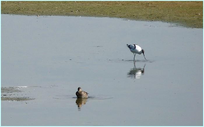 Oiseaux du Marquenterre (Picardie)