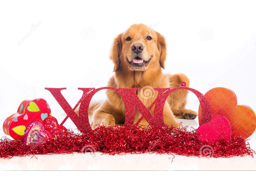 Bonne St Valentin de nos Goldens!! page 2