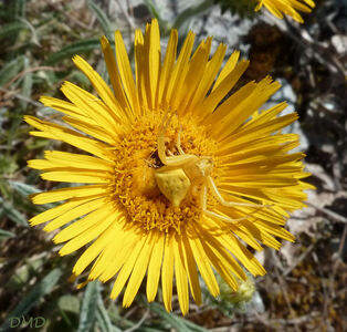 Inula montana - inule des montagnes