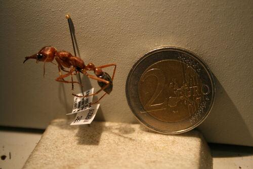 Le mastodonte des fourmis