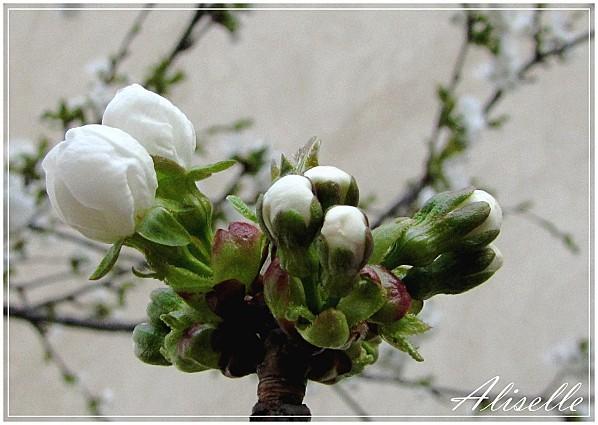 Cerisier-03-2012-e.jpg