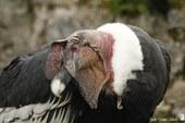Condor des Andes ♂