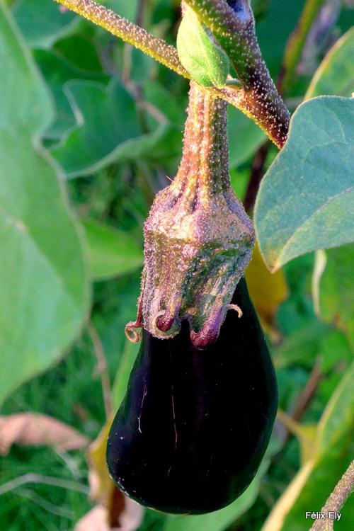 De la fleur au légume : l'aubergine !