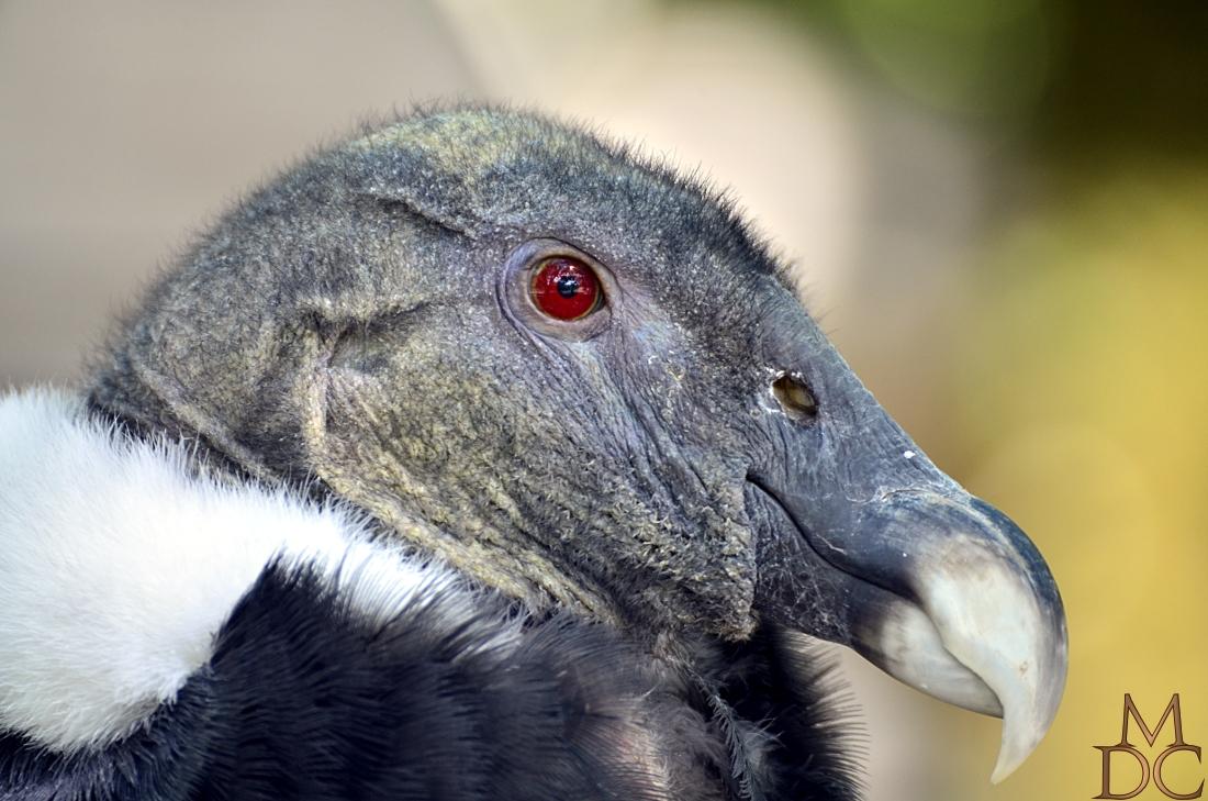 Condor des Andes (femelle)