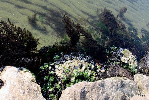 Des moules accrochées au rocher
