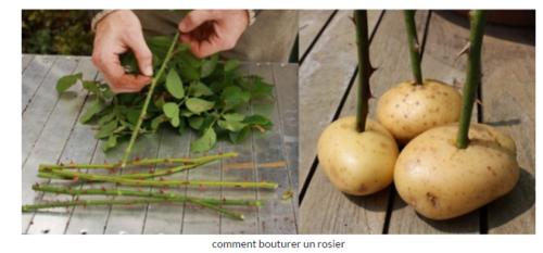 boutures de rosiers a la pomme de terre