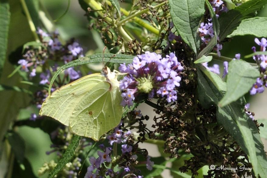 papillon-citron-2202.jpg