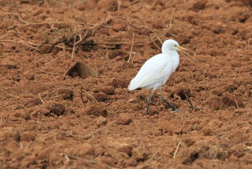 Héron Garde-Bœufs (Western Cattle Egret)