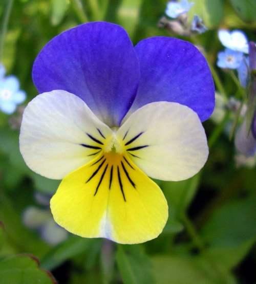 Vertus médicinales des plantes sauvages : Pensée sauvage