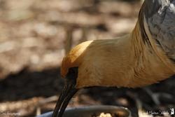 Ibis a face noire