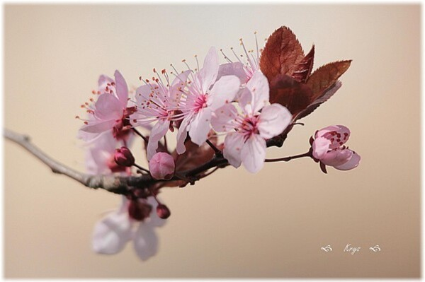 Branche-fleurie--12-.JPG