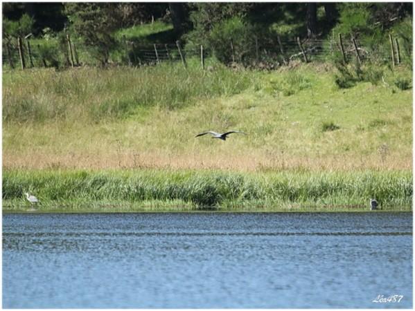 Oiseaux-3-1407-herons.jpg