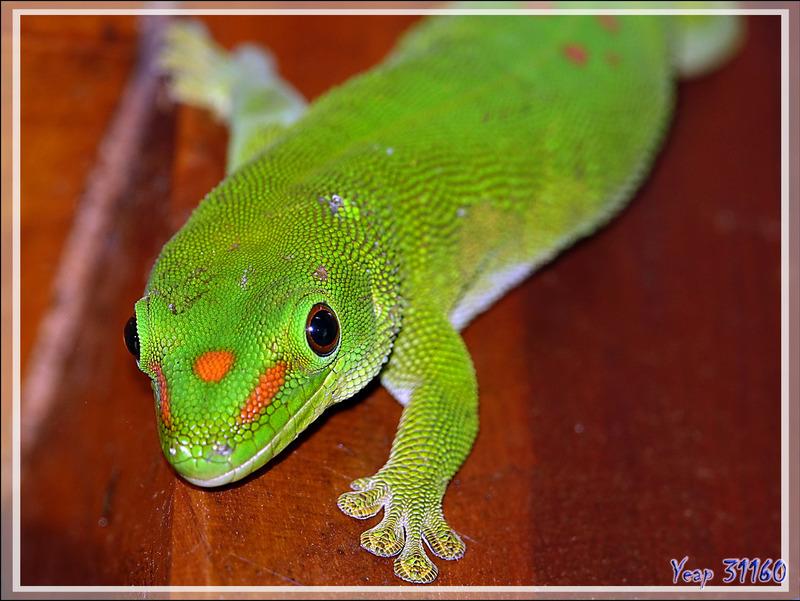 Gecko géant de Madagascar mâle (Phelsuma madagascariensis grandis) - Nosy Be - Madagascar