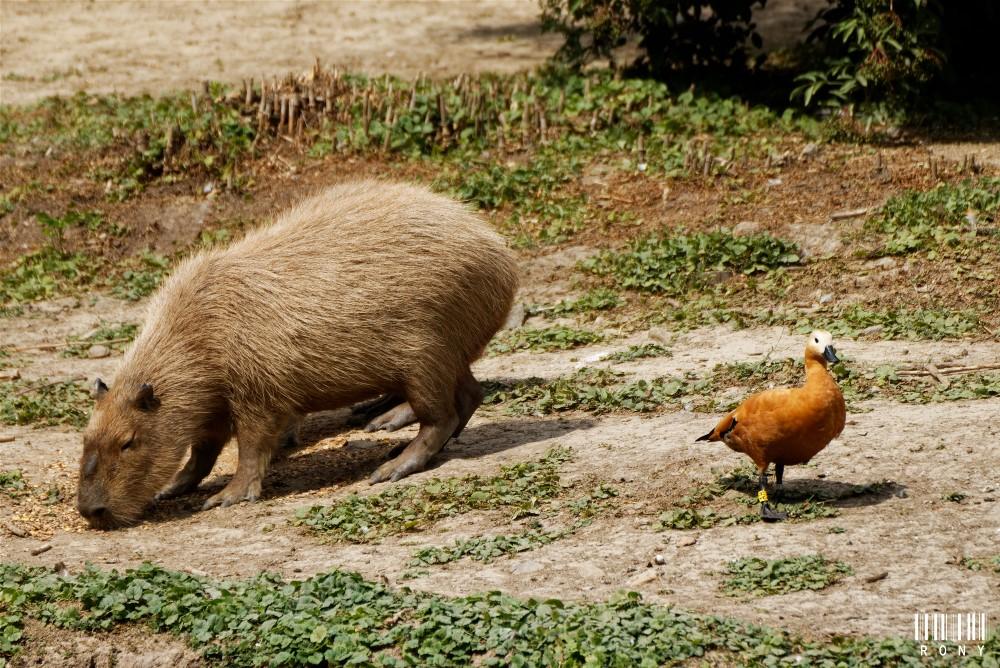Capybara, entre terre et eau.