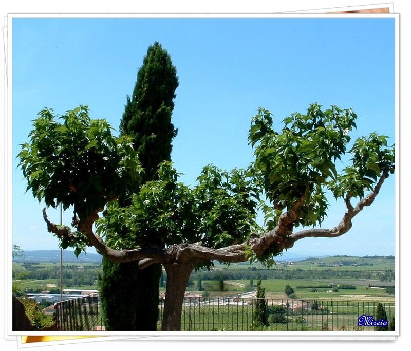 Cyprès de Provence...