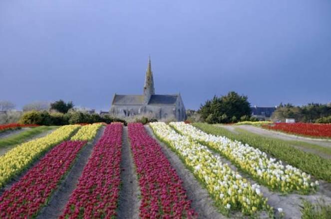 """**  EN BRETAGNE :""""JACINTHES  & TULIPES de la TORCHE"""".(Finistère  29.S)"""