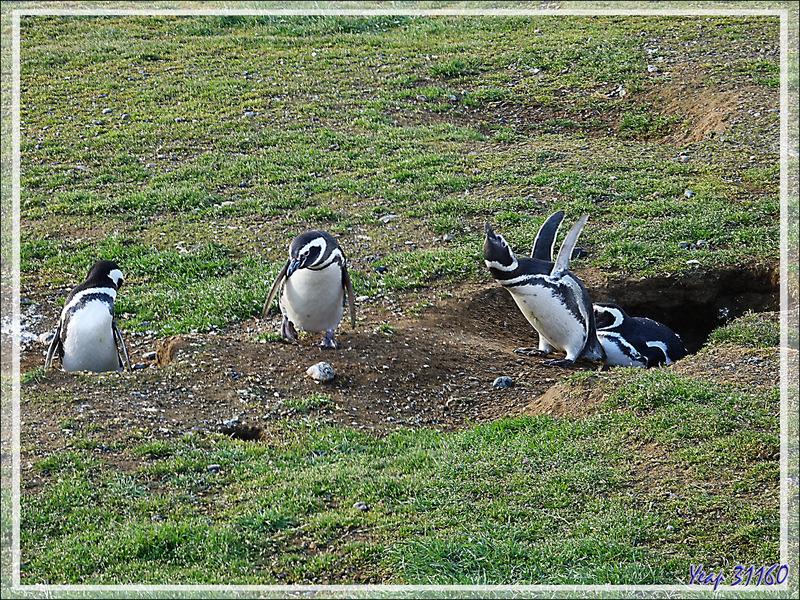 Manchots de Magellan, Magellanic Penguin, Pingüino patagónico, Pingüino de Magallanes (Spheniscus magellanicus) : ho, hé, les voisins, vos becs !  - Île Magdalena - Patagonie - Chili