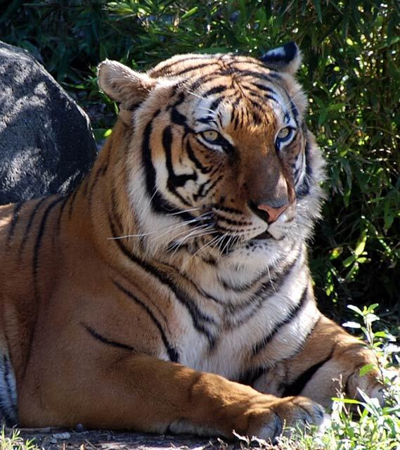 Tigre d'Indochine