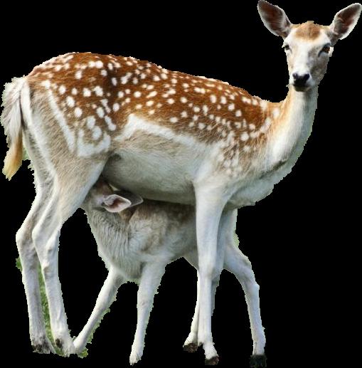 Antilopes, Biches, Faons, chevreuils, cerfs