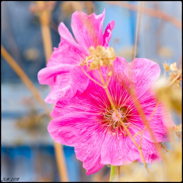 dernière fleur !