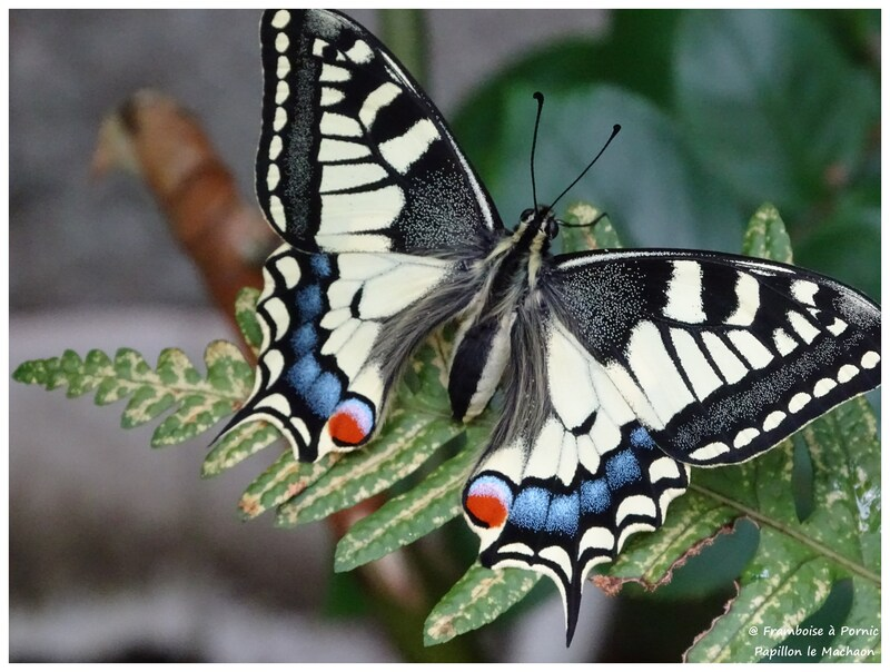 Papillon le Machaon - 2016