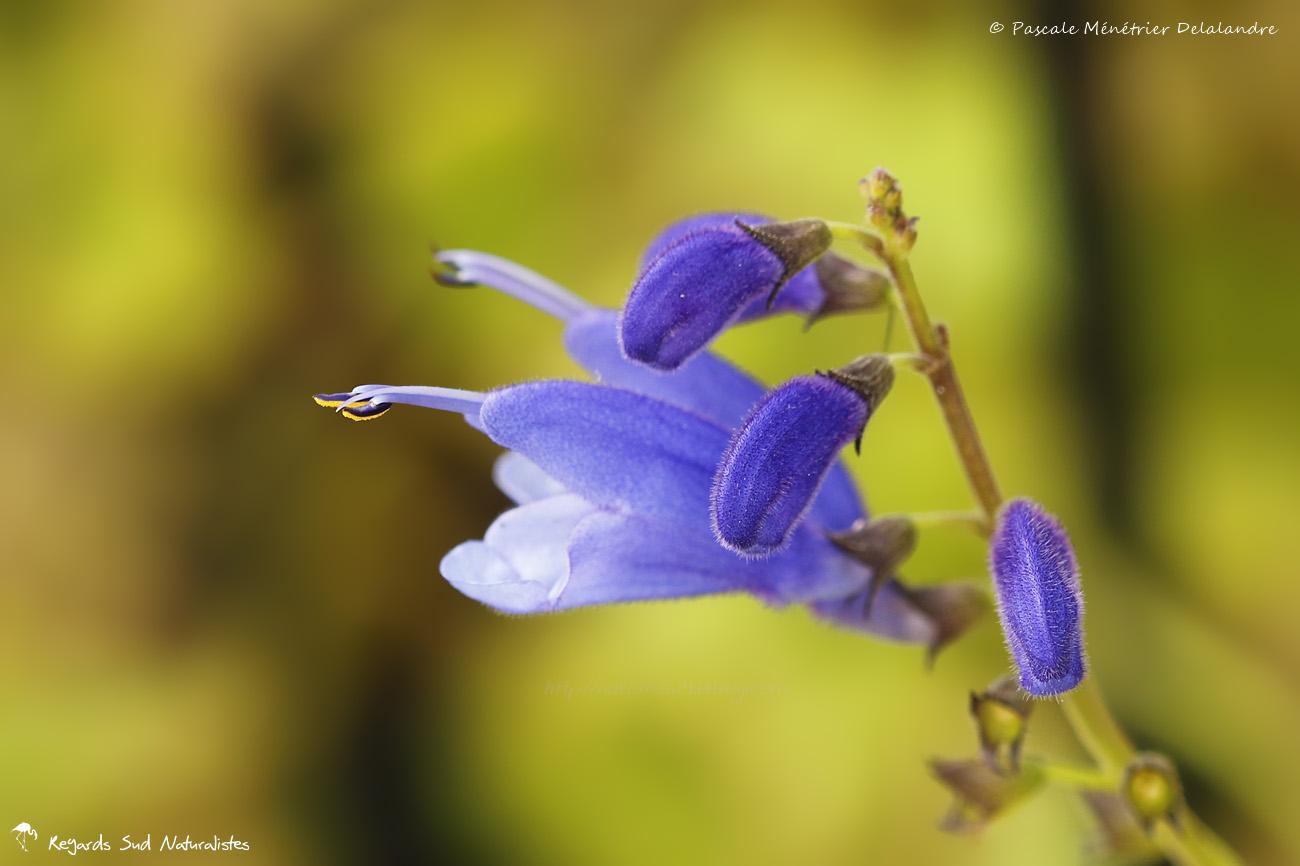 Salvia cacaliaefolia, Sauge à feuilles de Cacalie