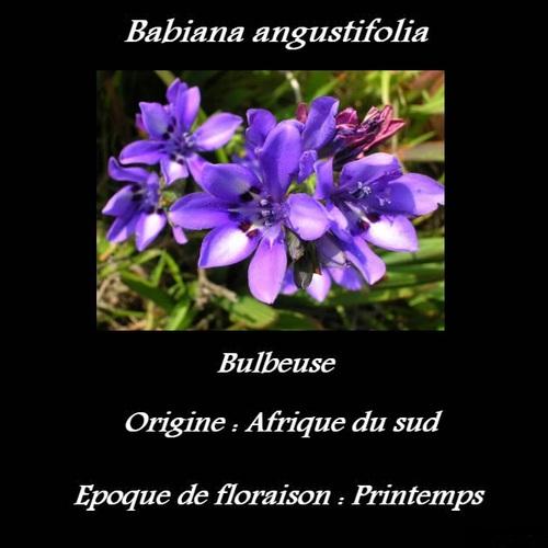 Babiana angustifolia
