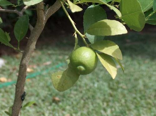 Citron vert.