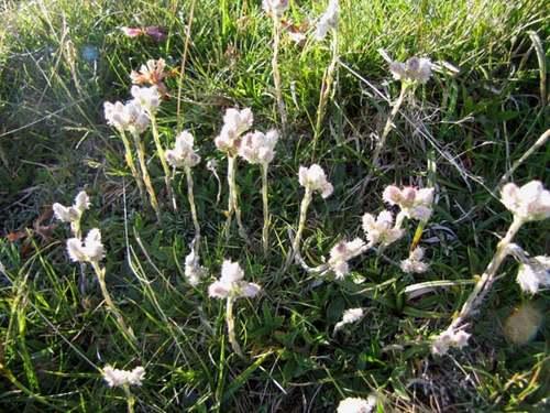 Vertus médicinales des plantes sauvages : Pied-de-chat