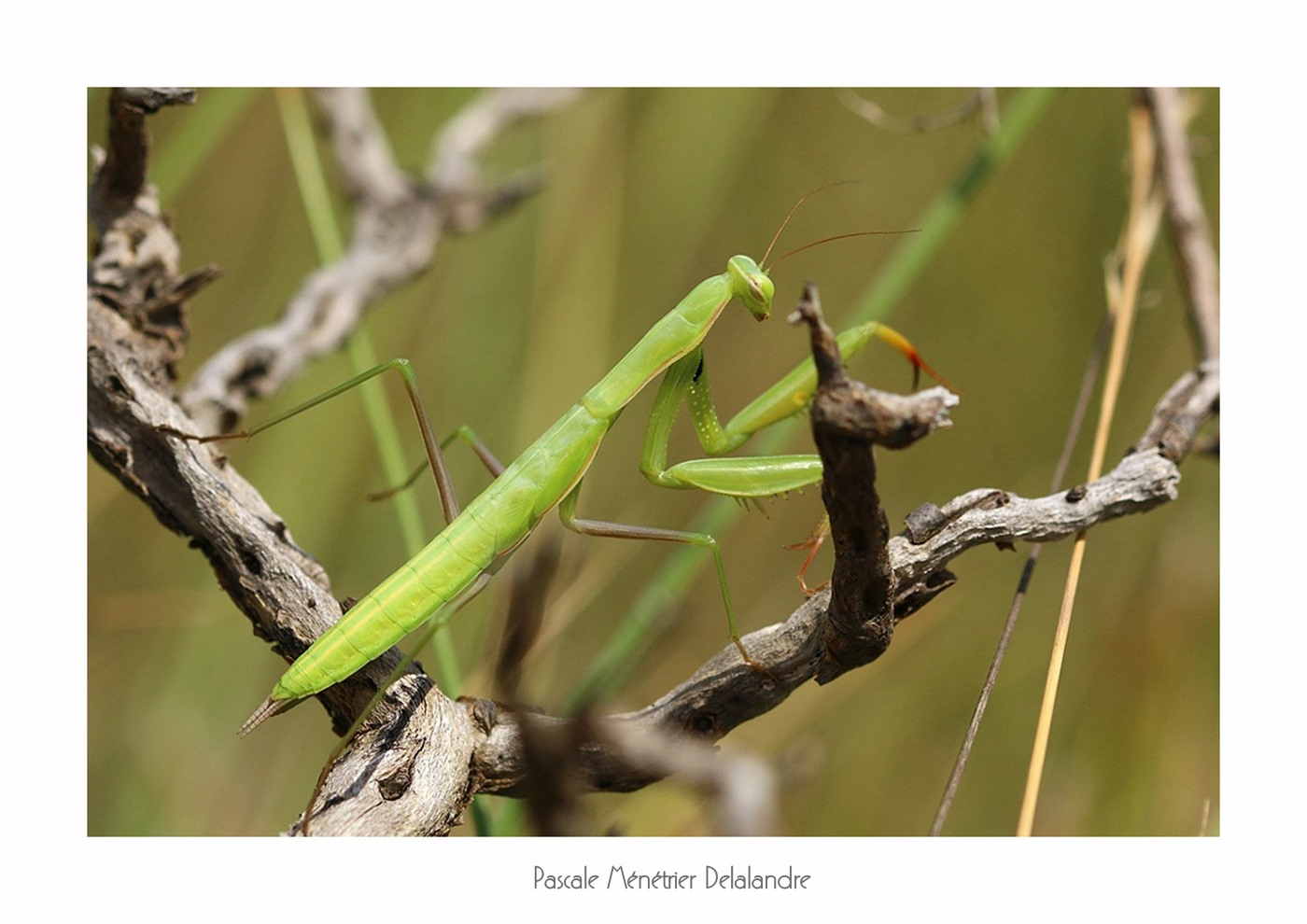 Mante religieuse forme verte immature - Mantis religiosa