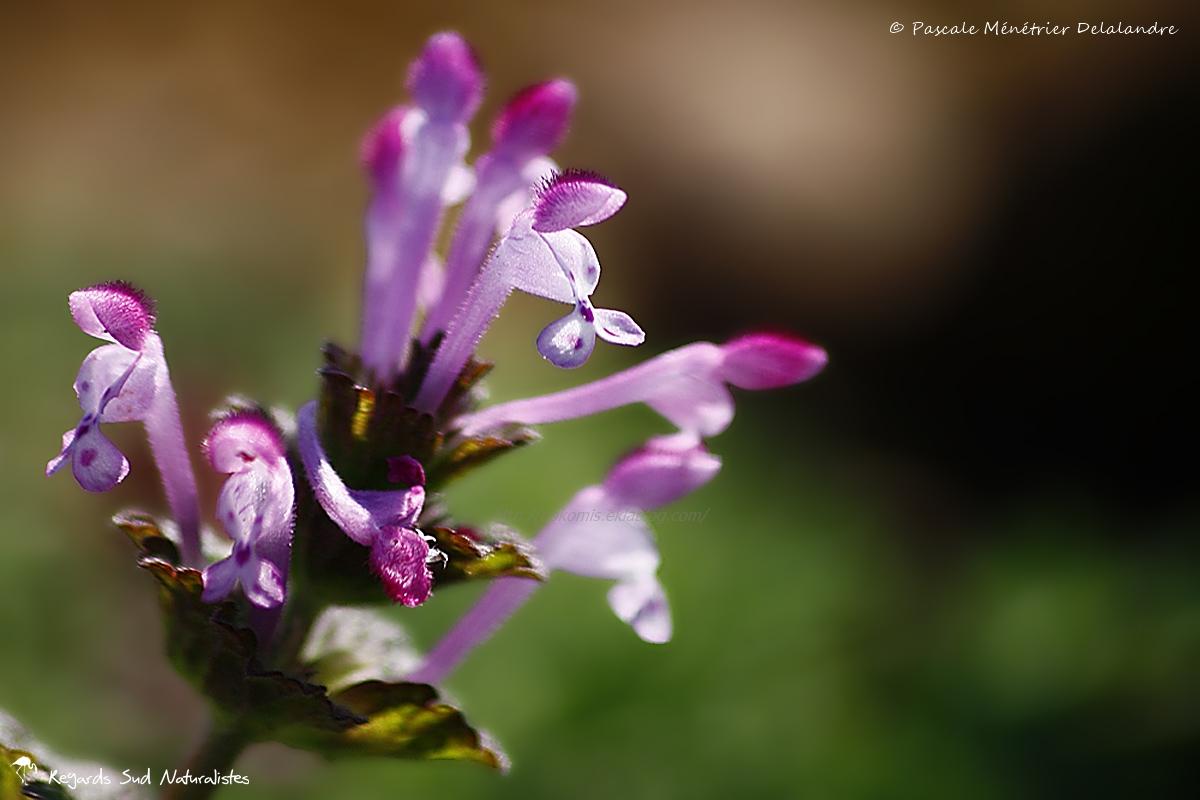Lamier amplexicaule (Lamium amplexicaule)